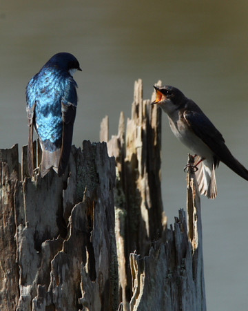 Male and female Tree Swallows at Nisqually Refuge during breeding season