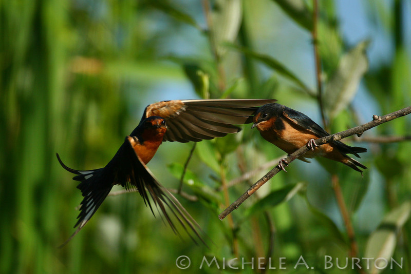 Adult barn swallow in flight feeding immature - image 3 of 3 <br /> Flying away to find more food