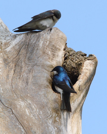 Tree Swallows at nest cavity in old maple tree at Nisqually Refuge