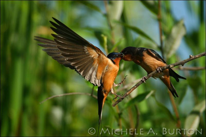 Adult barn swallow in flight feeding immature - image 2 of 3