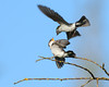 Adult Violet-green Swallow feeding Juvenile