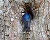 Tree swallow - Nisqually National Wildlife Refuge