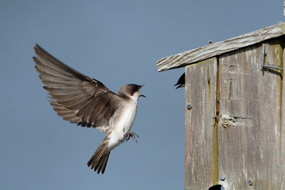 Tree swalllow defending nesting box