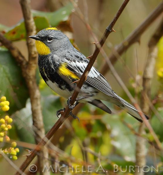 Yellow-rumped warbler_0002_2017-0414_LH0A5978_Michele_A_Burton_ TIF