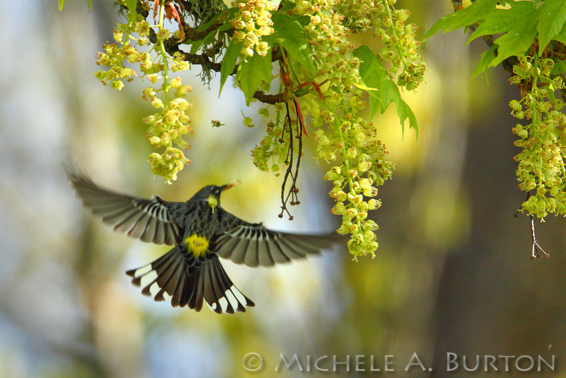 Yellow-rumped warbler feeding in newly flowering maple trees at Nisqually Refuge
