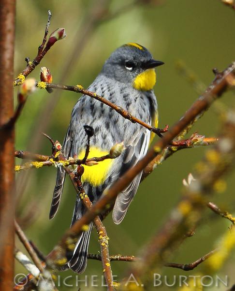 Yellow-rumped warbler_0001_2017-0414_LH0A5956___Michele_A_Burton_ TIF