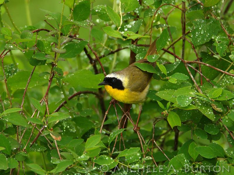 Common Yellowthroat warbler in the rain