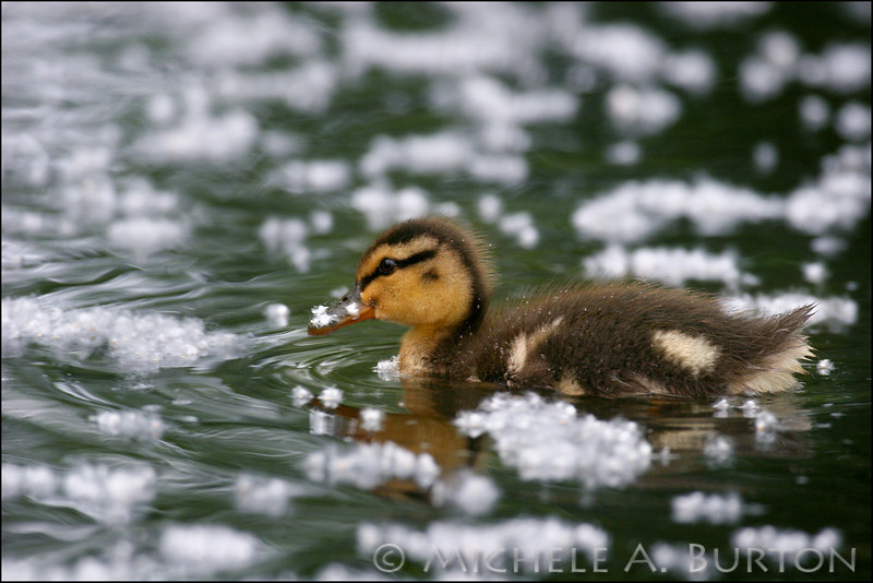 Baby mallard swimming in cottonwood fluff