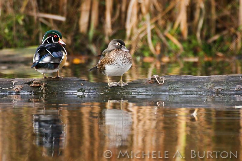 Wood ducks at Seattle's Arboretum