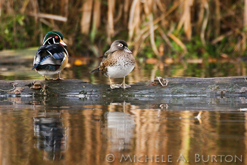 Wood ducks at Seattle's Arboretum