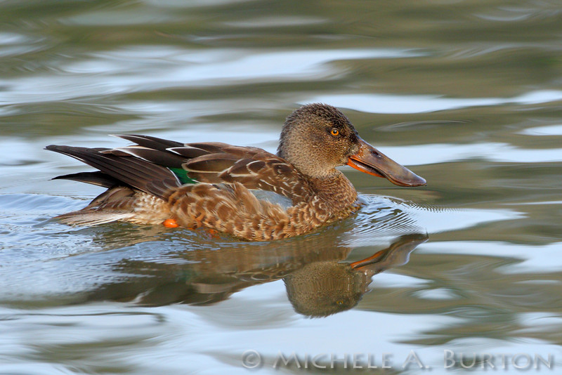 Northern Shoveler swimming at Capitol Lake