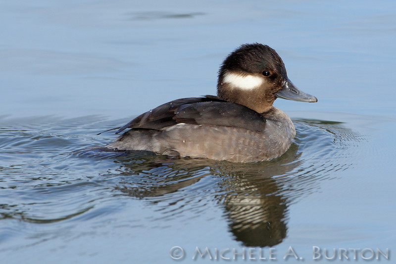 Bufflehead swimming at Capitol Lake