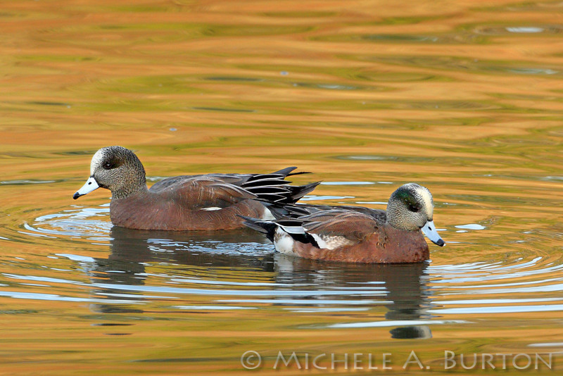 American Wigeon drakes in eclipse plummage at Capitol Lake