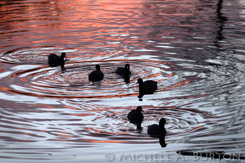 American Coots winter sunset Seattle's Arboretum