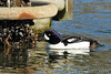 Male Barrow's Goldeneye at Swantown Marina in Olympia, Washington