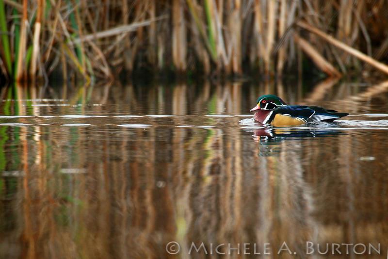 Male Wood duck swimming in winter