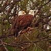 Eagle Couple, Katmai, Alaska