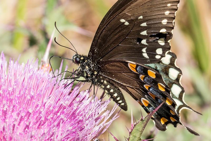 Pipevine Swallowtail - Paynes Prairie
