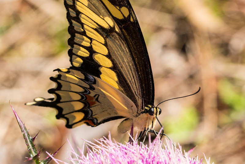 Giant Swallowtail in Florida
