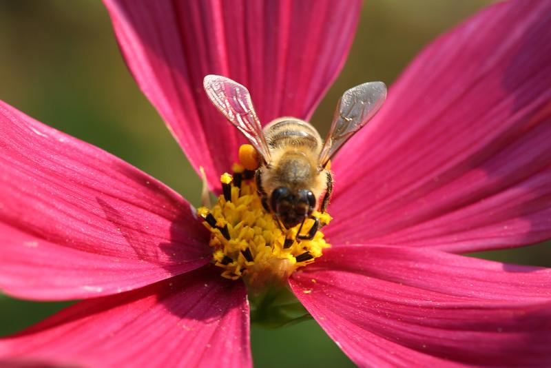 Common Honeybee - Sierra Nevada