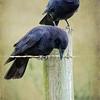 Crow Buddies