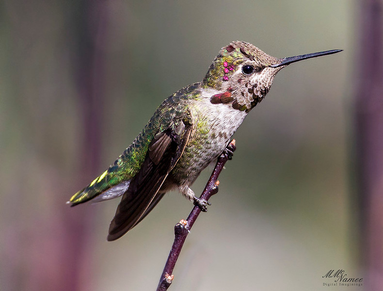 Young Anna's Hummingbird
