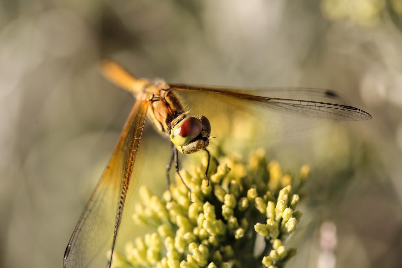 Striped Meadowhawk Dragonfly - Oregon