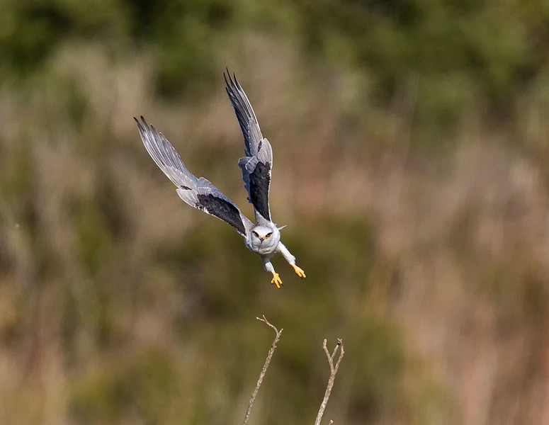 Hunting Kite