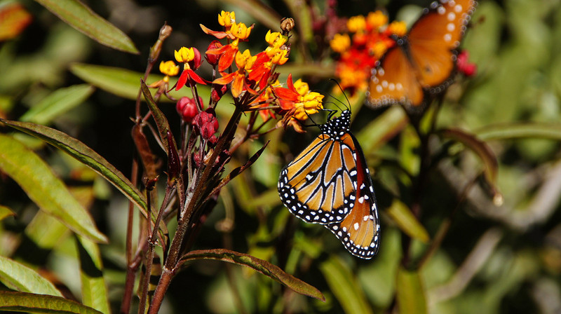 Monarch at Boyce Thompson, Arizoona