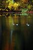 Ducks on Flushing Pond  Oct 18, 2006