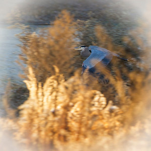 Great Blue Heron  December 14, 2012