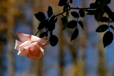 Fall Rose 1