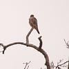 Broadwinged Hawk, Great Swamp NWR