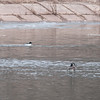 Common Merganser and Canada Geese on Raritan