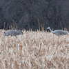Sandhill Cranes, Manville, NJ