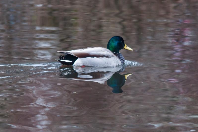 Mallard on D&R Canal, South Bound Brook