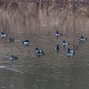 Ring-Necked Duck on Raritan River