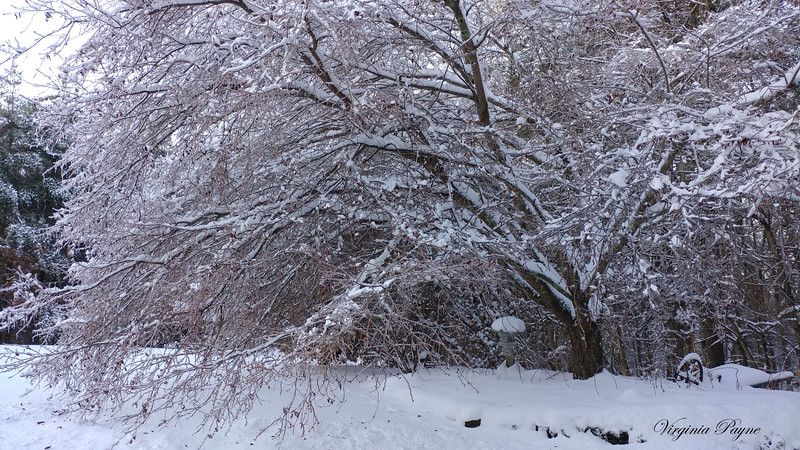 Our snow covered Autumn Cherry tree in our garden...