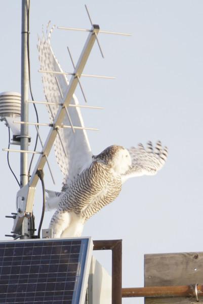 12 14 11_OWl on pier_4187_edited-1