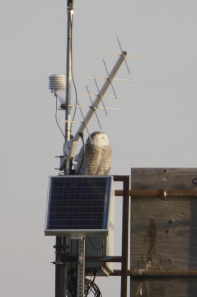 12 14 11_OWl on pier_4131_edited-1