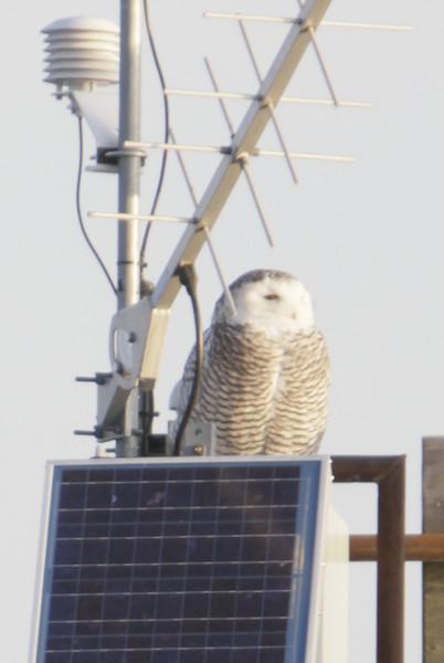 12 14 11_OWl on pier_4148_edited-1