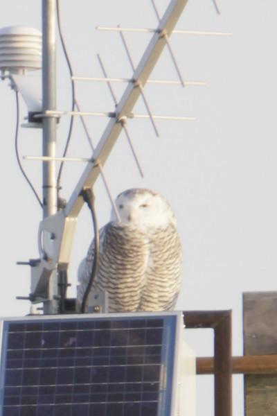 12 14 11_OWl on pier_4145_edited-1