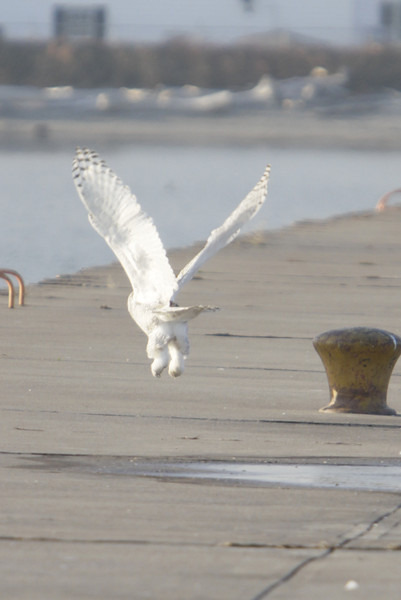 12 14 11_OWl on pier_4267_edited-1