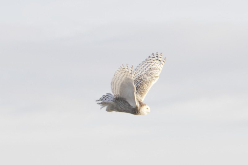 12 14 11_OWl on pier_4191_edited-1