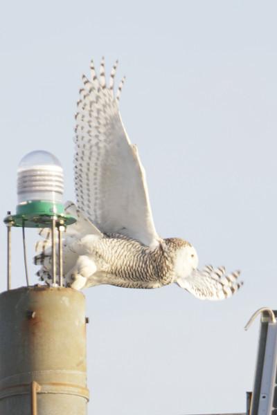 12 14 11_OWl on pier_4189_edited-1