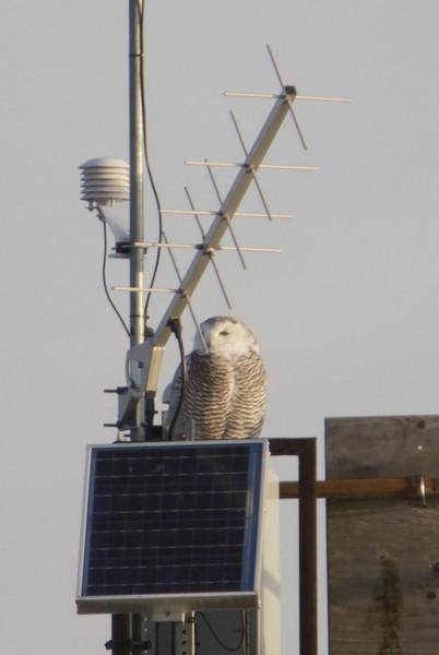 12 14 11_OWl on pier_4138_edited-1