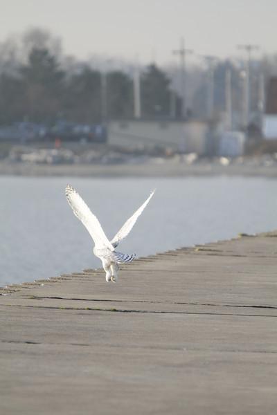 12 14 11_OWl on pier_4338