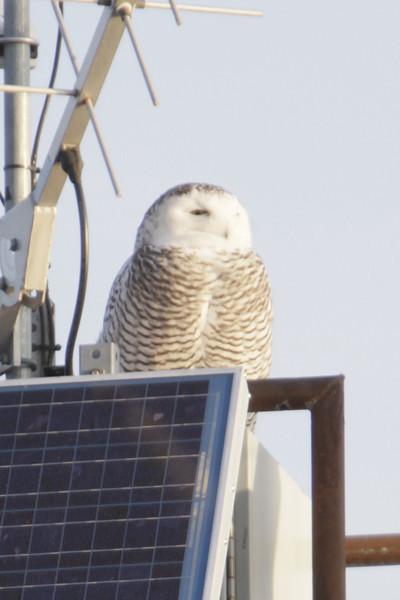 12 14 11_OWl on pier_4181_edited-1