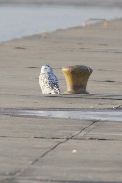 12 14 11_OWl on pier_4259_edited-1