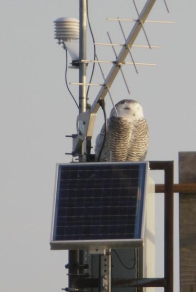 12 14 11_OWl on pier_4143_edited-1